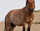 ¡El genoma más antiguo secuenciado es de un caballo de hace 700 mil años!