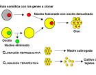 Clonación celular: dos vías distanciadas