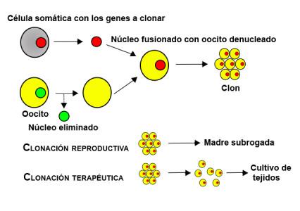 tipos_de_clonaci%C3%B3n-426x300.jpg