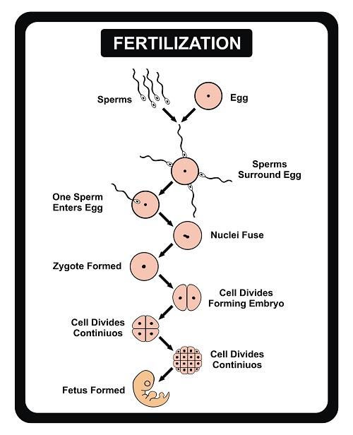 Biological beginning of human life