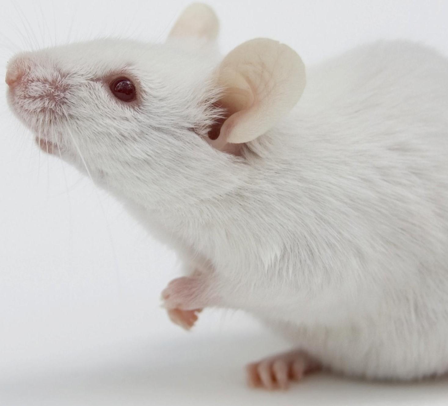 Se investiga con la t cnica crispr cas9 para tratar la - Como evitar los ratones ...