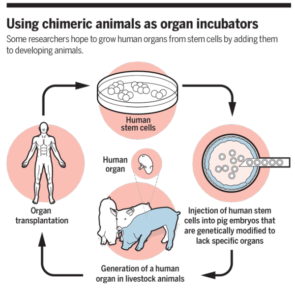 Human-animal chimeras produced for use in regenerative medicine