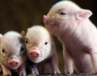 Uso veterinario del CRISPR (edición genética) para tratar de detener una grave enfermedad porcina