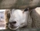 Animales clonados. Se comprueba que las ovejas clonadas pueden vivir una larga y saludable vida