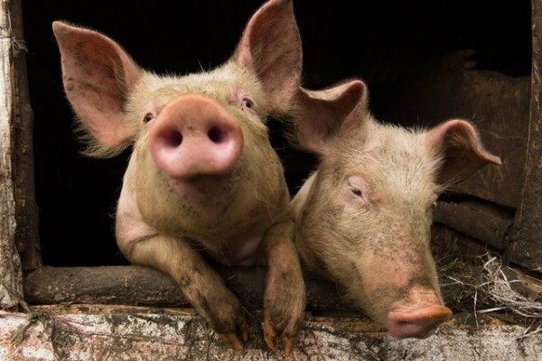 CRISPR veterinary (genome editing) to attempt to halt a serious porcine disease