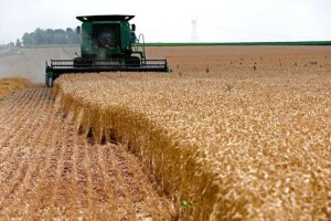 agriculure wheat