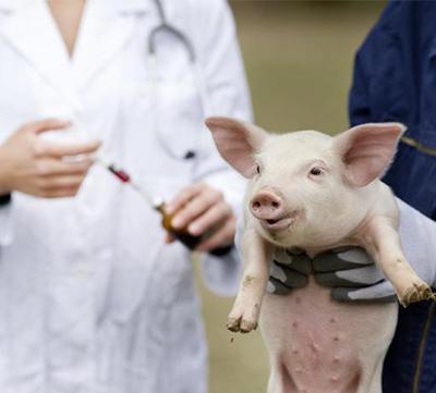 CRISPR-Cas9 acerca la posibilidad de realizar xenotrasplantes de cerdo a humano