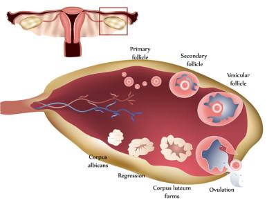 """""""Activación in vitro"""", nueva técnica que genera óvulos en mujeres infértiles."""