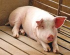 Híbridos de humanos y cerdos para construir tejidos.
