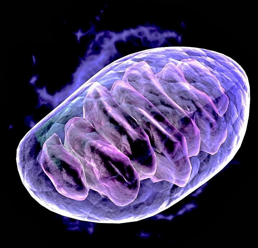 Donación de mitocondrias para evitar enfermedades relacionadas con ellas