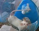 Ratones con una enfermedad parecida a la esclerosis múltiple se curan con células madre neuronales adultas humanas