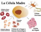 Células madre que proceden de óvulos para medicina regenerativa