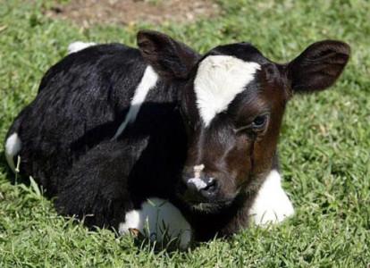Clonación de animales, muchos presentan problemas de desarrollo