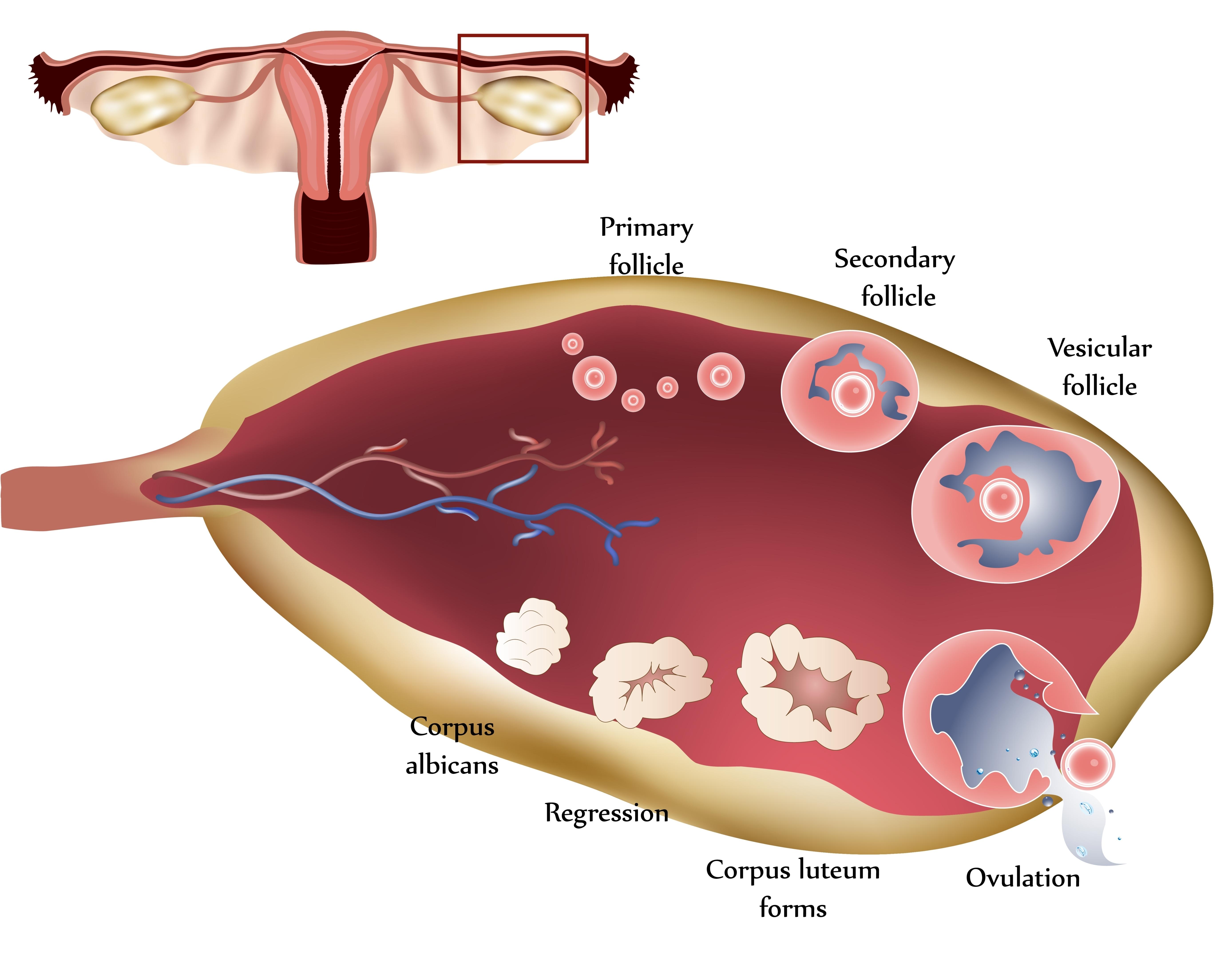 Partenogenesis asexual reproduction?
