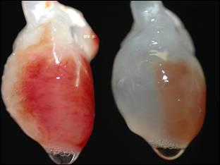 Órganos bioartificiales procedimiento técnicamente posible demostrado por Izpisua y su equipo sin dificultades éticas de usar de células madre embrionarias,