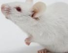 Se investiga con la técnica CRISPR cas9 para tratar la hemofilia y otras enfermedades hereditarias