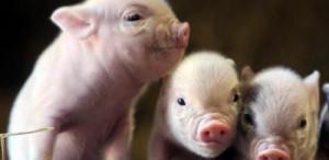 cerdos (2)