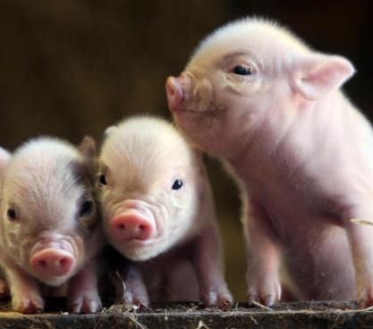 Uso veterinario del CRISPR para detener grave epidemia porcina que afecta a miles de animales en el mundo y que las vacunas no han surtido efecto.
