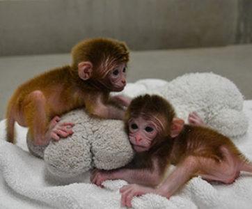 Se clonan dos monos por primera vez