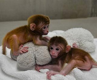 Clonación de animales. Por primera vez se consigue clonar dos monos en el Instituto de Neurociencias de Shanghái por trasferencia nuclear somática.