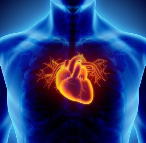 Células del músculo cardíaco. Se consigue desarrollar tejidos similares capaces de contraerse de forma espontánea e individual.