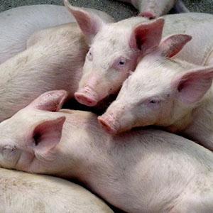 Se trasplanta con éxito a cerdos pulmones producidos en el laboratorio