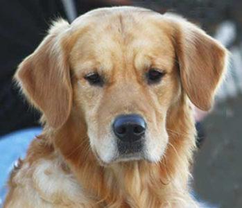 Mediante CRISPR-Cas 9 se pone a punto una nueva técnica para tratar la enfermedad de Duchenne en perros