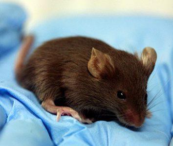CRISPR corrige una enfermedad pulmonar en fetos de ratón intraútero