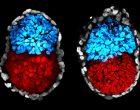 ¿Es ético el uso de organoides similares al embrión humano en experimentación?