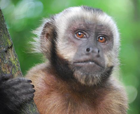 Introducen un gen del cerebro humano en monos que parece que aumenta su inteligencia