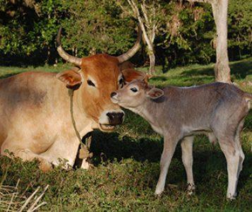 Nueva terapia para tratar bovinos extremadamente prematuros