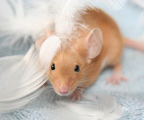 El corazón de ratón infartado puede mejorar administrándole células de placenta