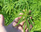 ¿Debería legalizarse el cannabis?