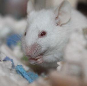 Producen pulmones en ratones que podrían ser útiles para trasplantes